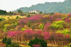 Árvores de cereja em um gramado verde Imagem de Stock Royalty Free