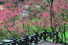 Árvores de cereja em um gramado verde Fotos de Stock Royalty Free