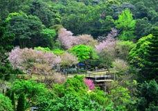Árvores de cereja entre a montanha Imagem de Stock Royalty Free