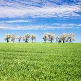 Árvores de cereja de florescência e campo de milho verde do tempo de mola Imagem de Stock Royalty Free