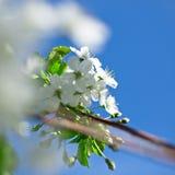 Árvores de cereja de florescência na mola Fotos de Stock
