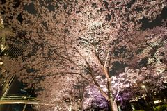 Árvores de cereja iluminadas ao longo da rua no Midtown do Tóquio, Minato-Ku, Tóquio, Japão na mola, 2017 imagens de stock royalty free