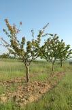 Árvores de cereja na exploração agrícola imagens de stock royalty free