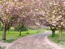 Árvores de cereja na flor Fotografia de Stock