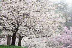 Árvores de cereja na flor Imagem de Stock
