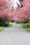 Árvores de cereja na flor imagens de stock