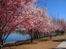 Árvores de cereja na flor Foto de Stock Royalty Free