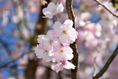 Árvores de cereja na flor cheia Imagens de Stock