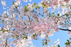 Árvores de cereja na flor cheia Fotografia de Stock