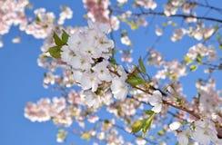 Árvores de cereja na flor cheia imagens de stock royalty free