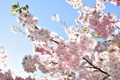 Árvores de cereja na flor cheia foto de stock