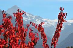 Árvores de cereja na queda nos alpes suíços imagens de stock royalty free