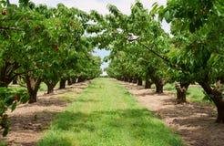 Árvores de cereja no pomar Fotografia de Stock