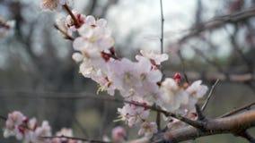 Árvores de Cherry Blossom, de tempo da natureza e de mola fundo video estoque