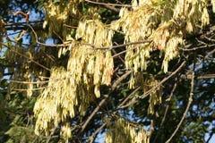Árvores de cinza Foto de Stock