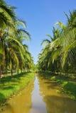 Árvores de coco Fotografia de Stock
