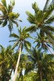Árvores de coco Fotos de Stock Royalty Free