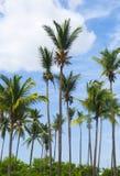 Árvores de coco Imagem de Stock Royalty Free