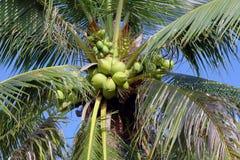 Árvores de coco Foto de Stock