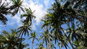 Árvores de coco video estoque