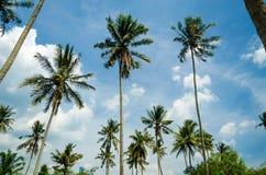 Árvores de coco Imagens de Stock