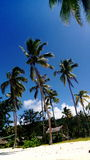 Árvores de coco Fotos de Stock