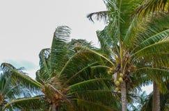Árvores de coco durante uma tempestade fotos de stock