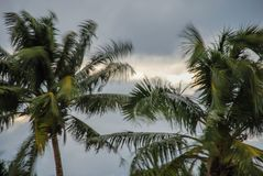 Árvores de coco durante uma tempestade fotografia de stock royalty free