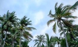 Árvores de coco e céu azul, conceito para a textura do fundo Fotos de Stock Royalty Free