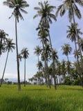 Árvores de coco entre o campo do arroz em Mindoro, Filipinas foto de stock