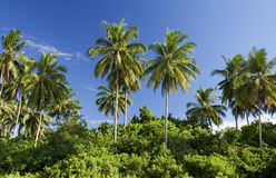 Árvores de coco, praia de Sematan Imagens de Stock