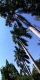 Árvores de coco que surpreendem a imagem do céu azul da vista fotos de stock royalty free