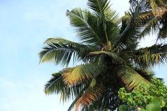 Árvores de coco sob o céu azul Fotografia de Stock Royalty Free