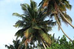 Árvores de coco sob o céu azul Imagem de Stock