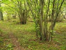 Árvores de Coppiced em Aland, Finlandia Fotos de Stock