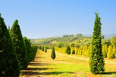 Árvores de Cypress Foto de Stock Royalty Free