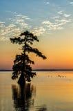 Árvores de Cypress calvo, lago Reelfoot, Tennessee State Park Fotografia de Stock