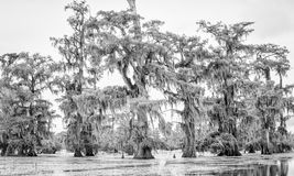 Árvores de Cypress em preto e branco Fotografia de Stock