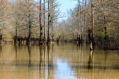 Árvores de Cypress que crescem em um lago pequeno na reserva natural calva do botão imagem de stock