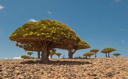 Árvores de dragão no platô de Dixam, Socotra, Yemen imagem de stock royalty free