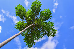 Árvores de encontro ao céu azul Fotos de Stock Royalty Free