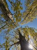 Árvores de encontro ao céu azul Fotografia de Stock