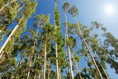 Árvores de eucalipto Foto de Stock Royalty Free