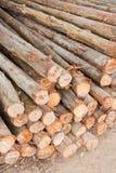 Árvores de eucalipto Fotos de Stock