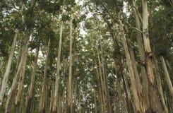 Árvores de eucalipto fotografia de stock