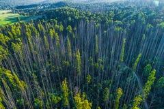 Árvores de eucalipto que recuperam dos incêndios florestais fotos de stock royalty free