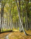 Árvores de faia Imagens de Stock Royalty Free