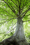 Árvores de faia Foto de Stock