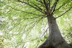 Árvores de faia durante a primavera Fotos de Stock Royalty Free