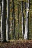 Árvores de faia na luz solar Imagem de Stock Royalty Free